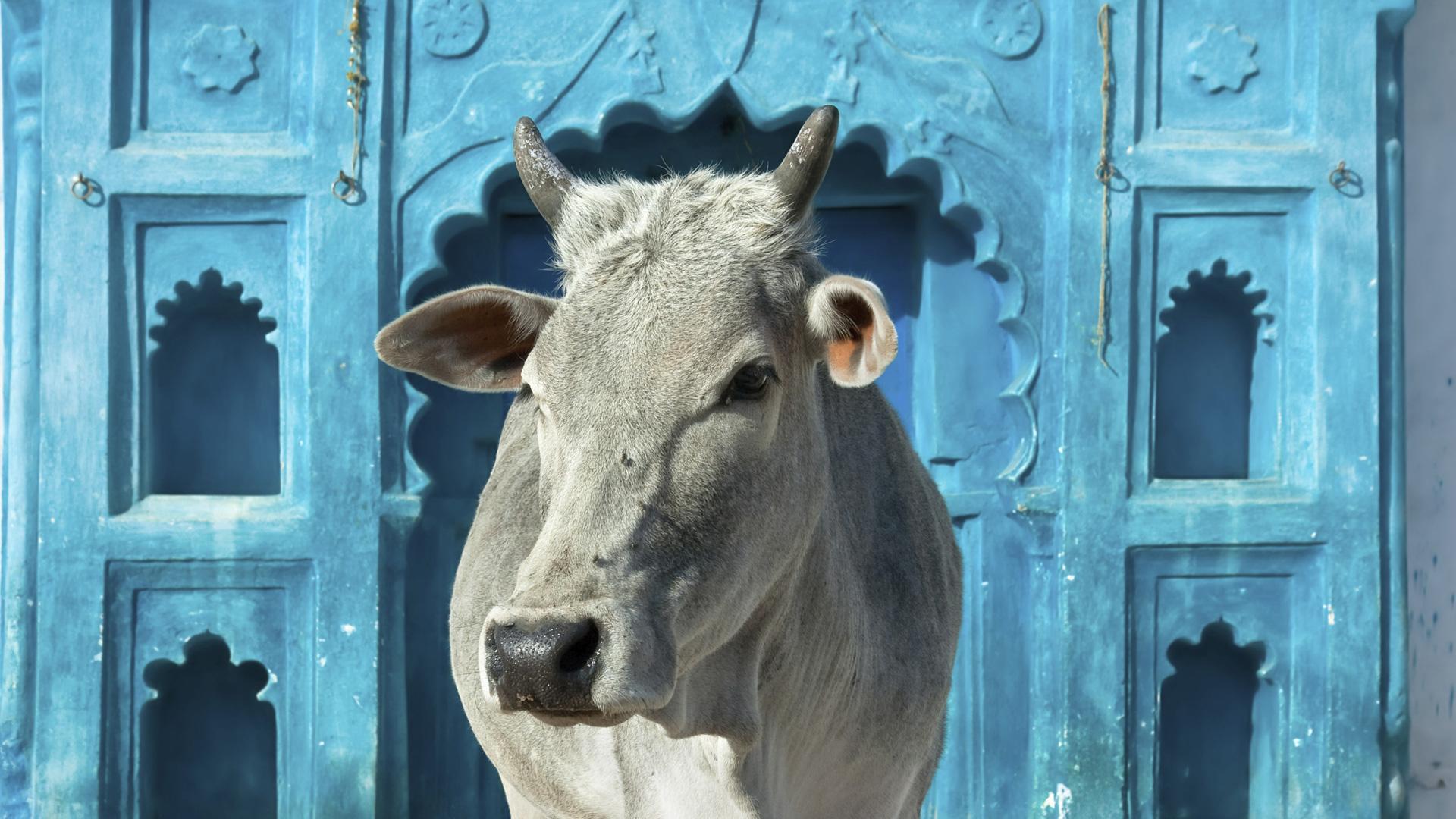 Indian Desi Cow
